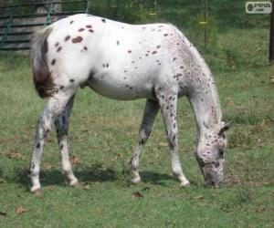 Układanka Walkaloosa koń w Stany Zjednoczone Ameryki