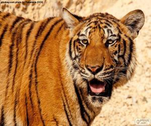 Układanka Wielki Tygrys