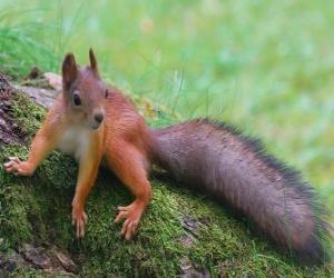 Układanka Wiewiórka, zwierząt, gryzoni, z pięknym ogonem