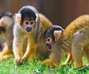Układanka Wiewiórki małpy