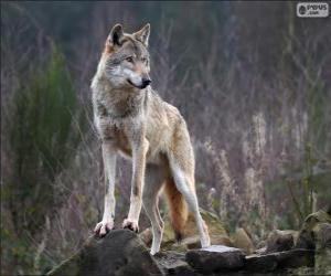 Układanka Wilk, mięsożerny ssak na wolności