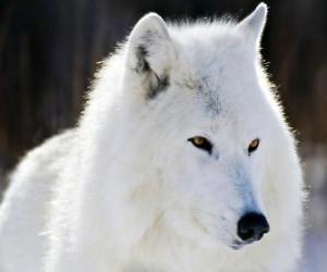 Układanka Wilk polarny