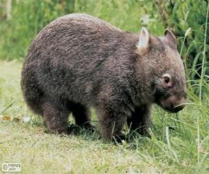 Układanka Wombatowate, wombaty