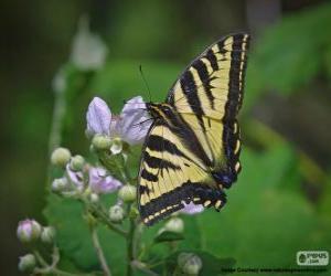 Układanka Wschodniej tiger swallowtail, motyl do wschodniej Ameryce Północnej