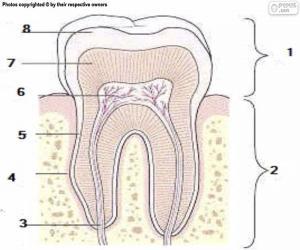 Układanka Ząb ludzki