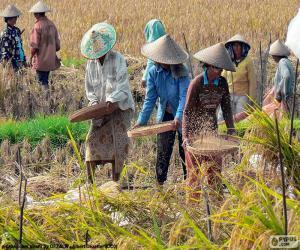Układanka Zbiory ryżu, Indonezja