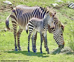 Układanka Zebra dziecka i jej matka
