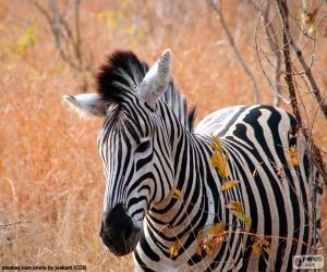 Układanka Zebra