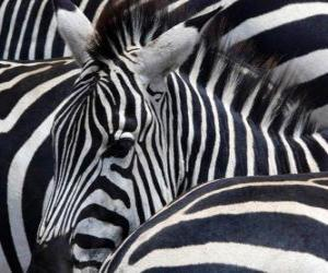 Układanka Zebry